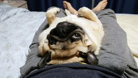 Calm and lazy pug dog lie on his back on owner legs, asleep