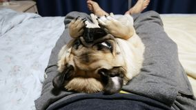 Calm and lazy pug dog lie on his back on owner legs, washing up his muzzle and yawns