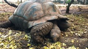 Giant tortoise in the reserve in Tanzania on the island of Zanzibar. stock video