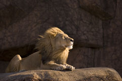 Calm lion. African lion at the Lincoln Park Zoo in Chicago Royalty Free Stock Photography