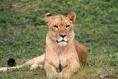 Calm lioness. Resting looking forward at local zoo Royalty Free Stock Photos