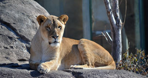 Calm Lioness Royalty Free Stock Photography