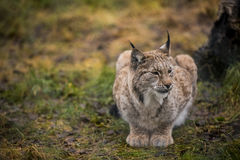 Calm Lynx in the autumn forest. Close-up portrait of the wild cat in the natural environment. Eurasian Lynx is sitting on the ground in the Arctic Norway. This Royalty Free Stock Images