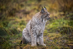 Calm Lynx in the autumn forest. Close-up portrait of the wild cat in the natural environment. Eurasian Lynx is sitting on the ground in the Arctic Norway. This Stock Image