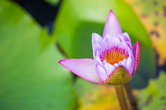 Calm Meditation Blooming Serenity Stock Images