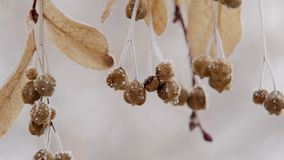 Calm natural view of frozen tree buds are trembling in wind in winter day, close-up view stock video
