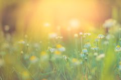Sunset flowers meadow under soft sunlight and sun rays. Spring meadow field background stock photos