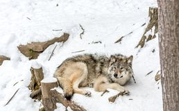 Calm and peaceful brown wolf in a snowy landscape stock photos