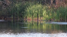 Calm pond rushes in a pond stock video