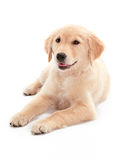 Calm Puppy Royalty Free Stock Images
