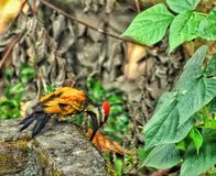 The WOOD-pecker pecking. Calm , Quiet and Peaceful royalty free stock photos