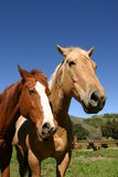 Calm at the ranch. Two ranch horse rest with cows behind them stock images