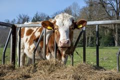 Free Calm Red With White Cow Is Eating Hay From A Rack In A Meadow Royalty Free Stock Images - 162963009