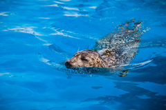 Calm Seal Swimming in the blue water Stock Photography