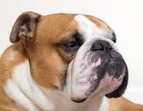 Calm and serious English bulldog close-up Stock Photo