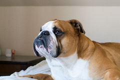 Calm and serious English bulldog looking somewhere Stock Photo