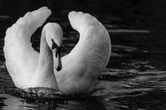 Calm swan Royalty Free Stock Image