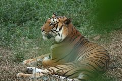 A calm tiger relaxing in the shrubs royalty free stock photography