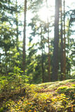 Calm Tranquil Forest Scene Royalty Free Stock Images