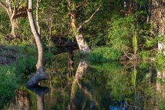Creek In Bushland With Still Water Reflections. Calm water of a creek in lush green bushland setting with still reflections stock photos