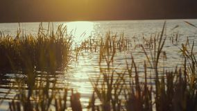 Calm water of the lake, reed under the bright light of the sunset. Beauty of nature. Pure nature. Outside shooting. Evening, sunset. Slow motion, camera stock video