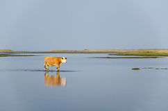 Calm water with walking cow Royalty Free Stock Images