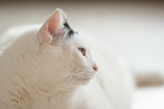 Calm white cat in profile. Black and white Turkish Van cat portrait in profile over blurred background royalty free stock image