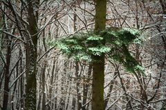 Calm winter day in the forest Royalty Free Stock Photography