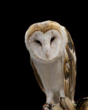 Calm wise male barn owl perched looking at the camera Royalty Free Stock Image