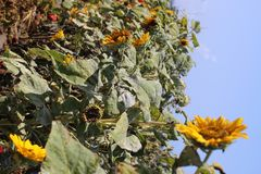 sunflowers are looking for the sun royalty free stock photos