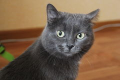 Calma del gatto fotografia stock libera da diritti