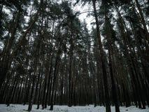 Calma e silêncio da floresta do inverno fotos de stock royalty free