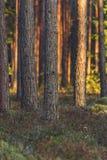 Calma y Sunny Summer Day en el bosque, con Sun brillando a través de la vegetación de los árboles y de la flora del bosque, mater fotos de archivo