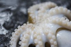 Calmar de fruits de mer sur la glace/fin vers le haut de calmar cru gastronome de poulpe d'océan frais de tentacule images libres de droits