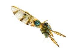 Calmar de récif de Bigfin Photographie stock