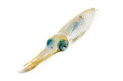 Calmar de récif de Bigfin Photos libres de droits