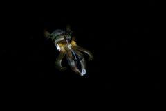 Calmar de récif de Bigfin dans les eaux foncées Photos libres de droits