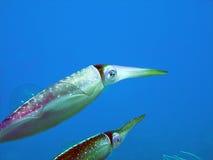 calmar des Caraïbes de récif Photo libre de droits