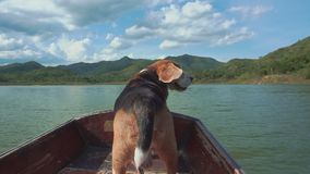 Calming beagle on boat with his flying ears. Calming beagle dog on boat with his flying ears stock footage