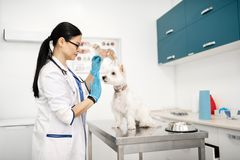 Dark-haired vet calming down dog before giving it food. Calming down dog. Dark-haired vet wearing blue gloves calming down dog before giving it food royalty free stock photos