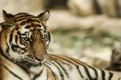 Calming Tiger Royalty Free Stock Image