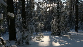 Calmness in the forest, with trees snow falls. stock footage