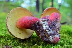 Caloboletus calopus mushroom Royalty Free Stock Photo