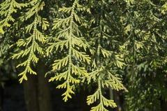 Calocedrusdecurrens är ett sällsynt barrträd Arkivbilder