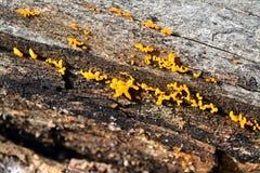 Calocera cornea fungus Royalty Free Stock Image