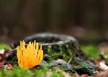 Calocera viscosa Stock Images