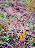Calocera viscosa- yellow stagshorn Royalty Free Stock Photo