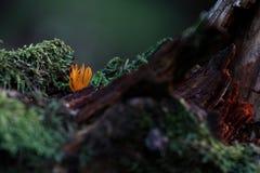 caloceraviscosa Royaltyfria Bilder