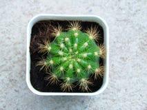 Calochlora haut étroit d'Echinopsis de cactus de bébé photographie stock