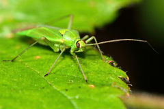 Calocoris alpestris Mirid bug Stock Photo